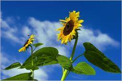 nur Himmel und Sonnenblumen