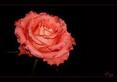 Nur so eine Rose