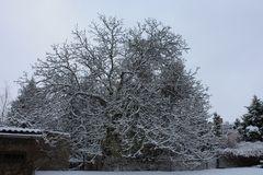 Nussbaum im Schneekleid