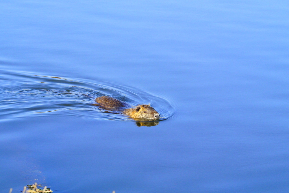 Nutria nuotatrice