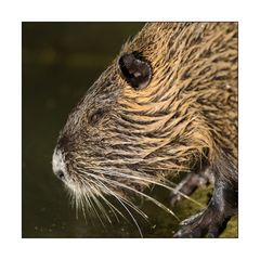 Nutria-Portrait (links)