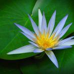 Nymphaea caerulea flower