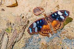 Nymphalidae, Biblidinae, Myscelia capenas octomaculata