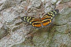 Nymphalidae,  Tithorea harmonia, Harmonia Tigerwing.