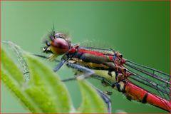 Nymphe au corps de feu mâle (Pyrrhosoma nymphula) 2