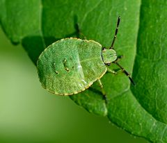 Nymphe der grünen Stinkwanze (Palomena prasina)