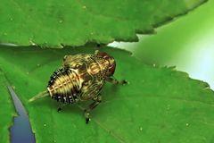 Nymphe der Käfer- oder Fliegenzikade... - Larve d'Issus coleoptratus ou d'Issus muscaeformis...