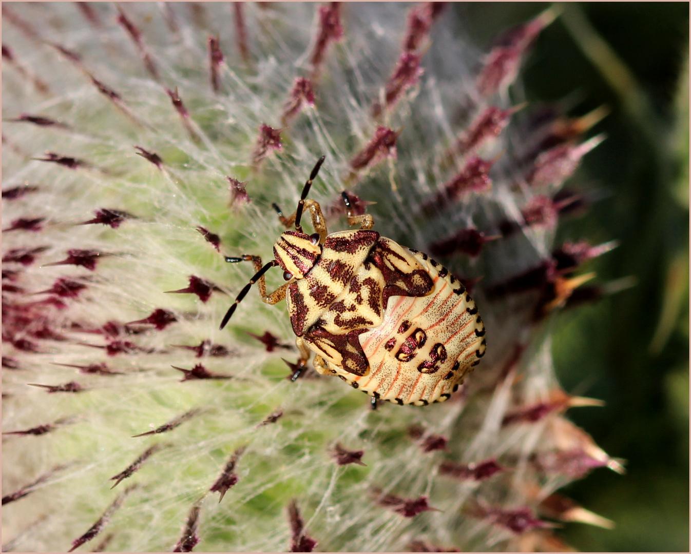 Nymphe einer Streifenwanze (Graphosoma lineatum).