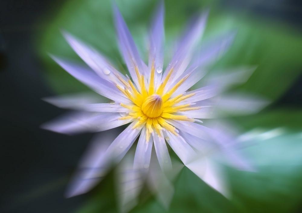 Nymphea stellata – Blaue Seerose – im Gartenteich