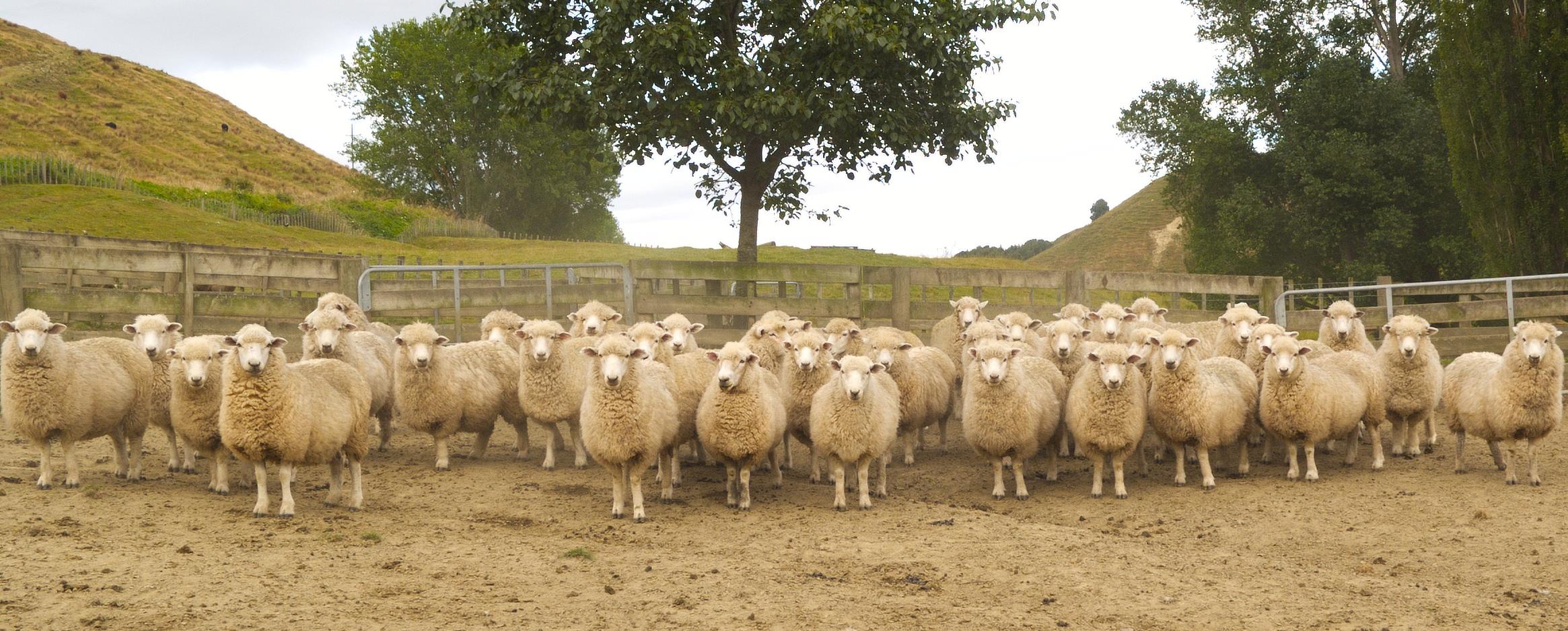 NZ Schafe