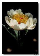 .. O Bianco Fiore...