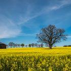 Oak in the field 2