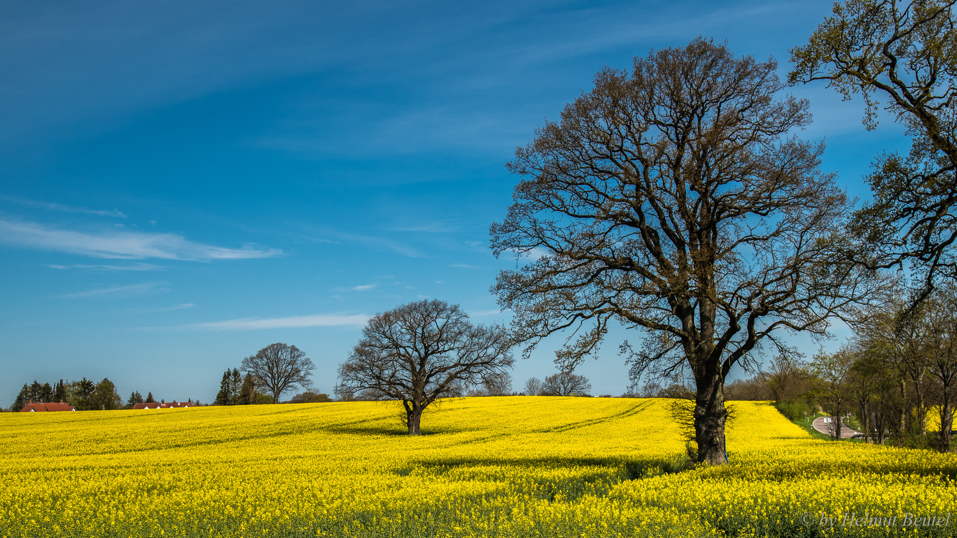 Oaks in the field