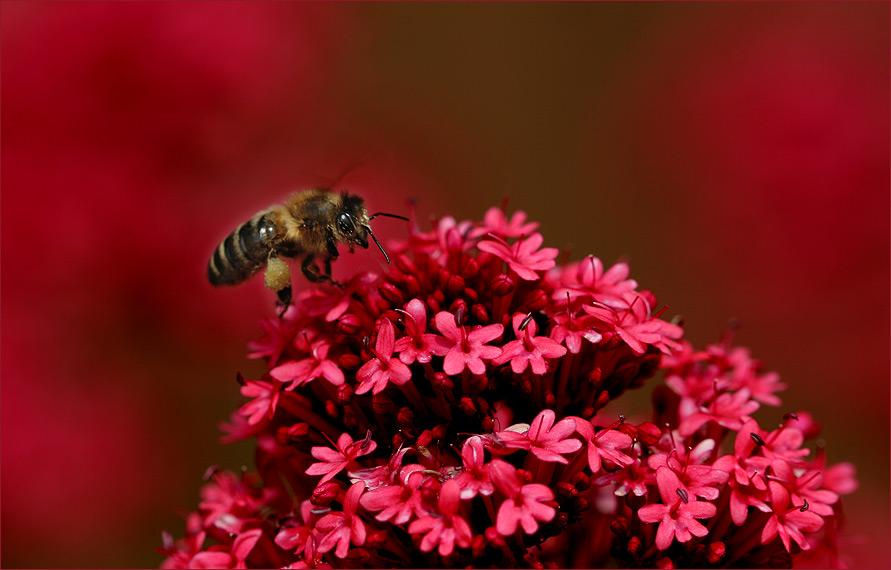 Ob Bienen auch in den Rotrausch geraten??