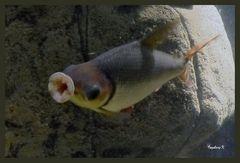 Ob der Fisch die Scheibe küßt?