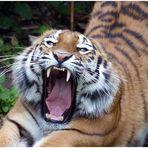 Ob der Tiger Hunger hat oder ist er nur müde?