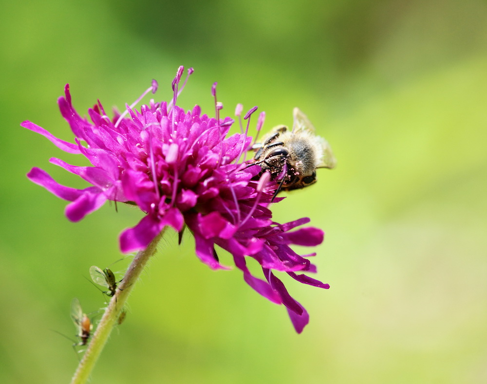 Oben in der Blüte ernähren sich die Bienen und im Untergeschoß die Blattläuse