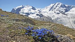 Oberhalb der 3000er Marke der herrliche Enzian vor der Nummer 3 der Alpen...