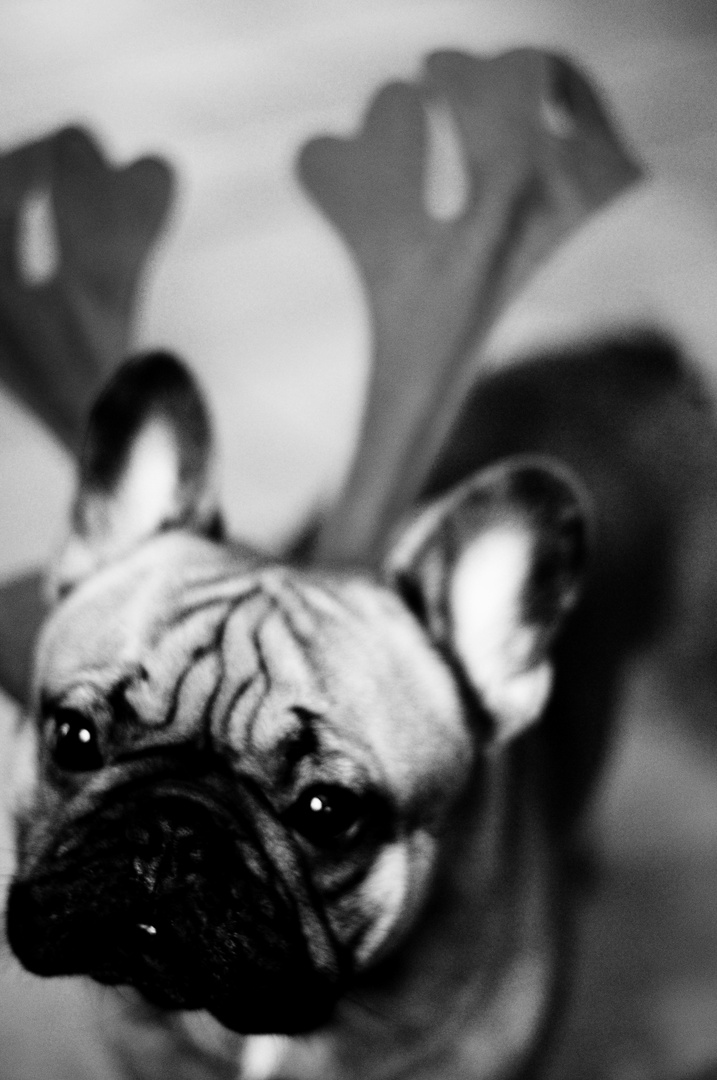 OBEY the French-Bulldog