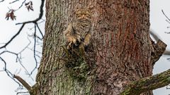 OBSERVATION DESK: Oak tree serves wildcat to camouflage perfectly