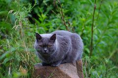 Observercat