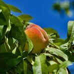 Obst in Armenien