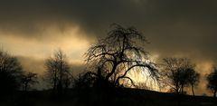 Obstbäume in Allensbach im Morgenlicht