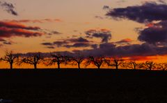 Obstbäume in der Flur Im Abendlicht