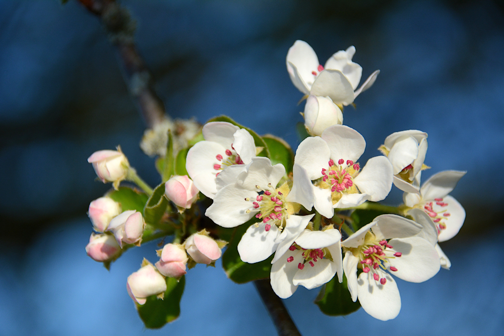 Obstbaumblüte...