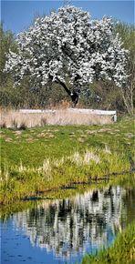 Obstbaumblüte in den Rieselfeldern