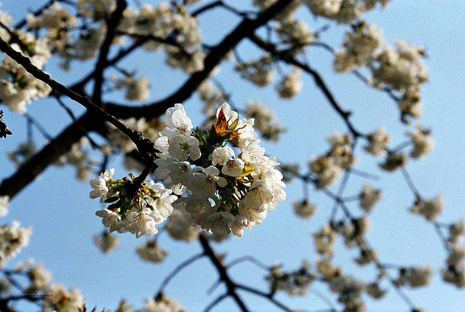Obstblüte - 3