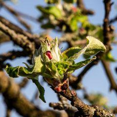 Obstblüte, ganz am Anfang