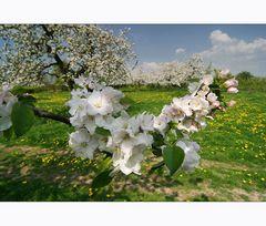 Obstblüte im Haspengouw (I)