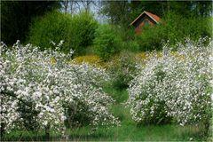Obstblüte im Haspengouw (II)