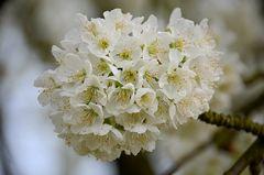 Obstblüten