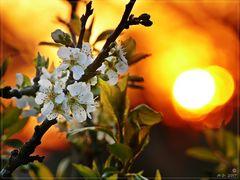 Obstblüten in der Abendsonne...