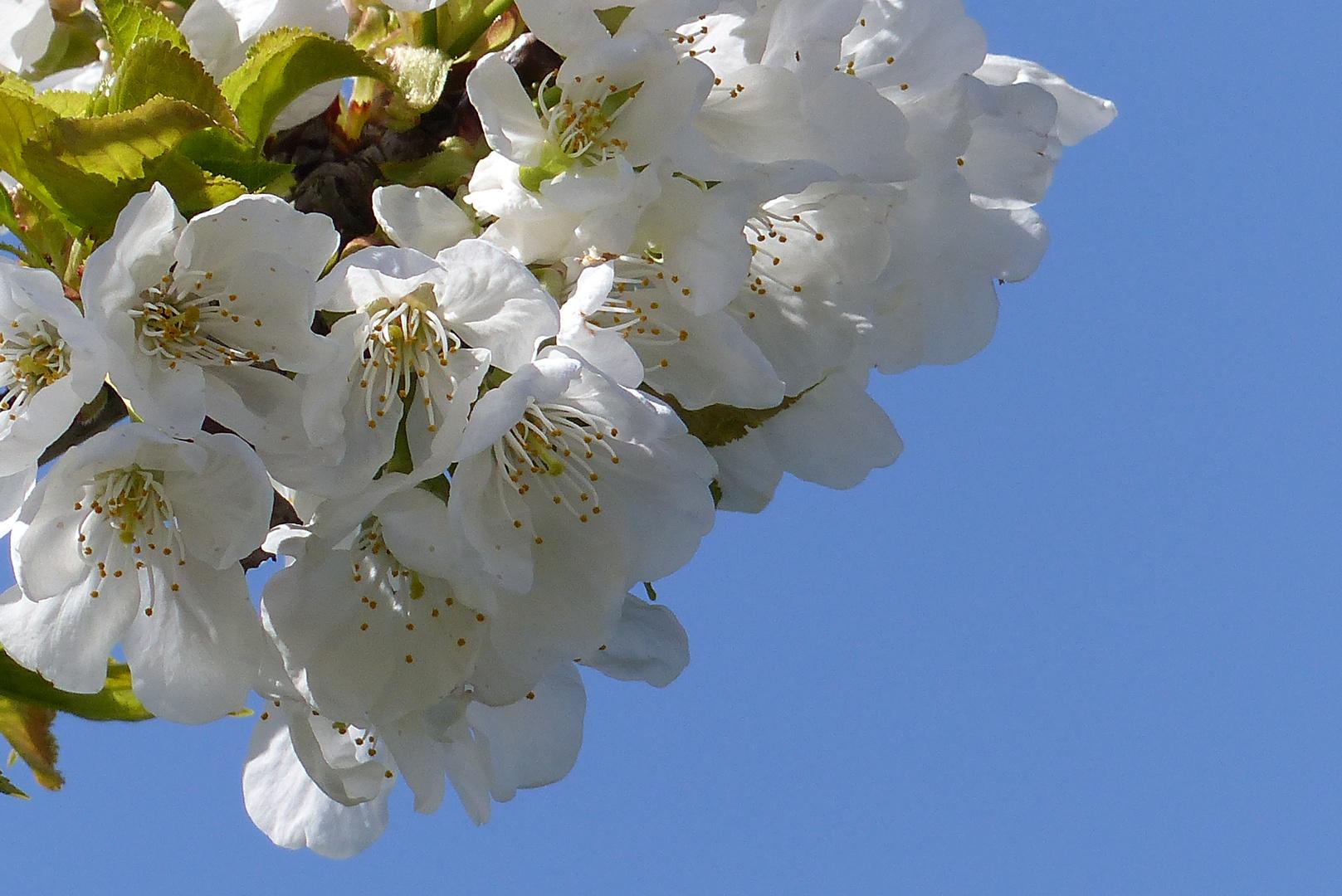 Obstblüten Wetterau