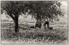 Obstpflücker um 1979 mit der Leica R4 aufgenommen, Film: Tri X Pan 400