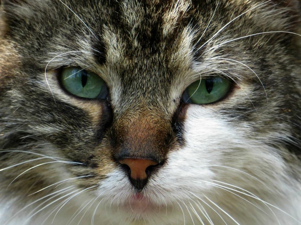 Occhi Verdi Foto Immagini Animali Animali Domestici E Da Cortile