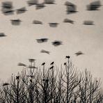 Ocells