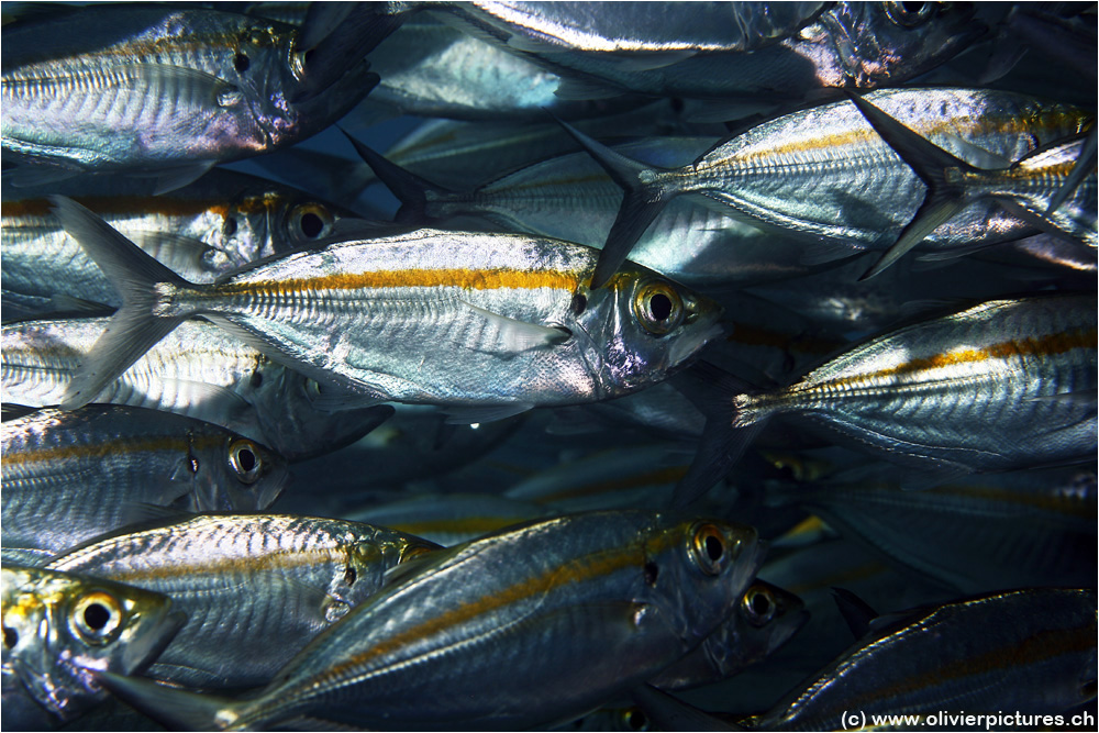 Ochsenaugen-Makrelen