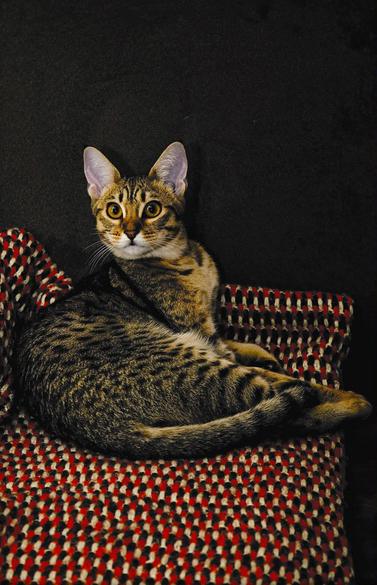 Ocicat Katze - Cecilia