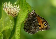 Ockerbindiger Samtfalter (Hipparchia semele)