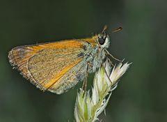 Ockergelber Braun-Dickkopffalter (Thymelicus sylvestris) - L'Hespérie de la houque.