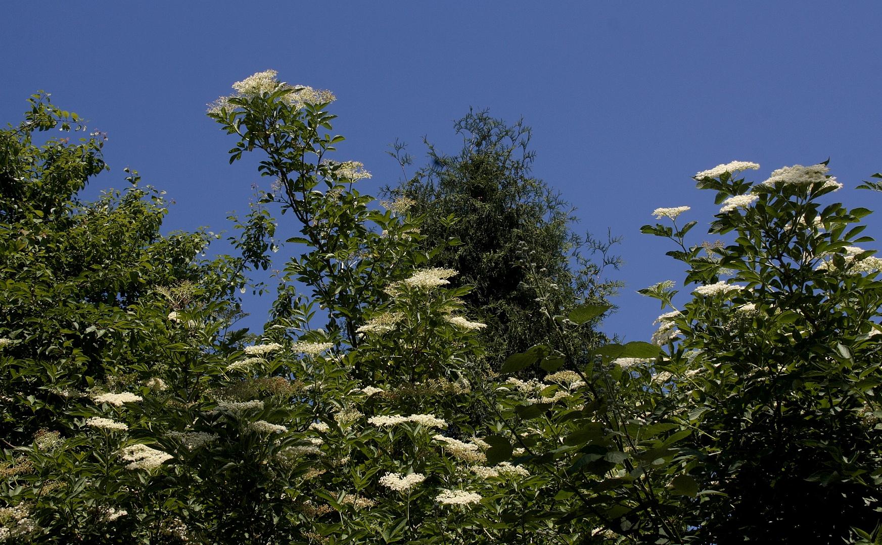 Ode an den Mai ( Holunder-Blüten )
