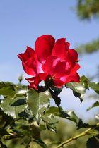 Ode an den Mai ( La Rose )