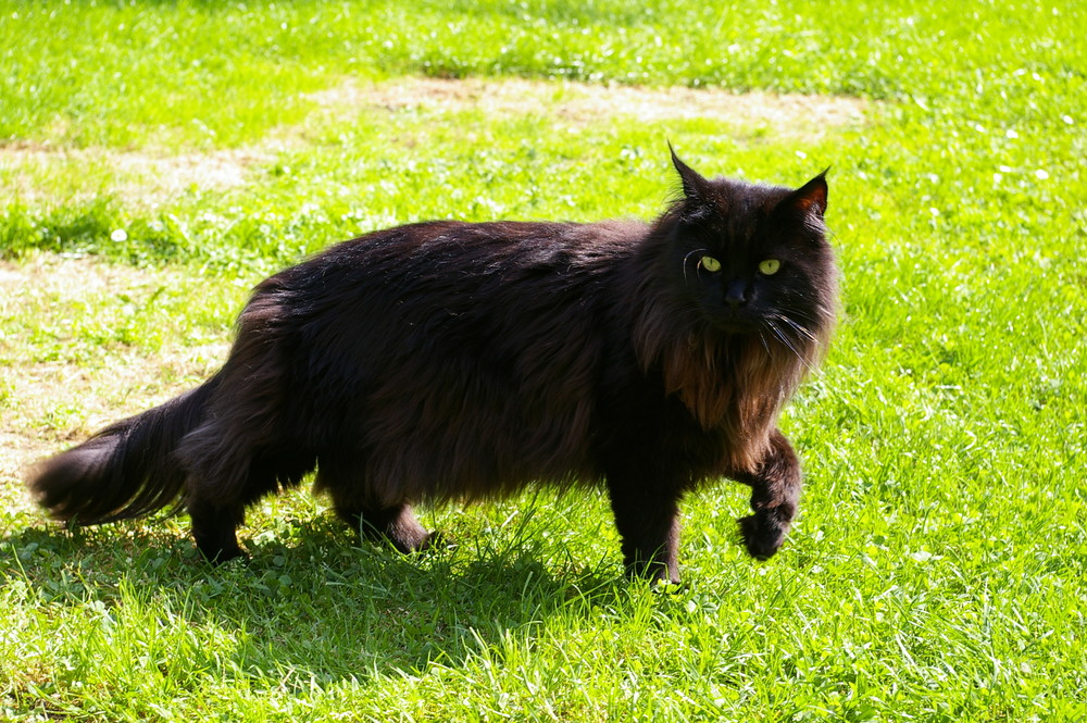 Odin (Maine Coon)