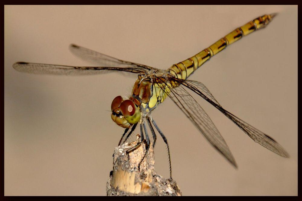 Odonata...