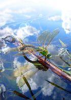 Odonata whirlybird