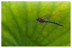Odonate : libellule Aeshne mixte sur fond de Lotus